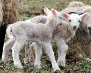 lambs day two