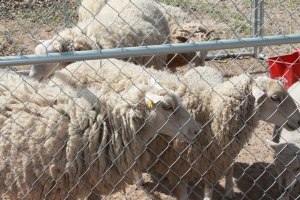 The night before the shearing, P and W moved their small herd into a pen to make them more easily handled.