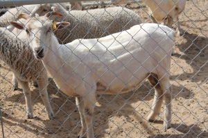 The sheared sheep looked so different!  Lexi looked like a goat.