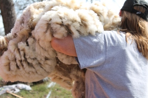 After each sheep was sheared, the fleece was carried to the barn.