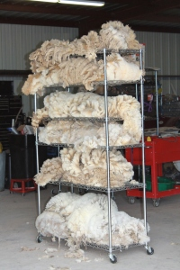The harvest.  Each fleece was different in quality.